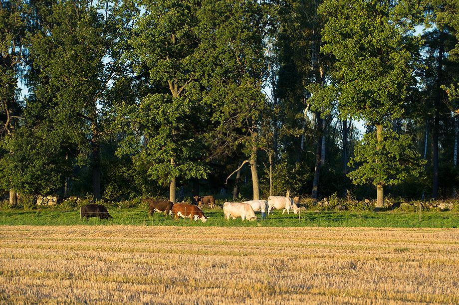 Korna i hagarna kring Eriksbo Park